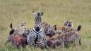 Sırtlanlar hamile zebraya saldırdı